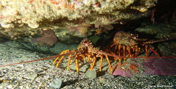 Red Rock Lobster 1